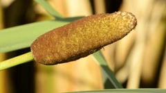 Typha latifolia, flower Stock Footage
