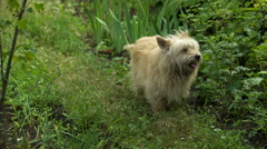 Shaggy Dog Stock Footage