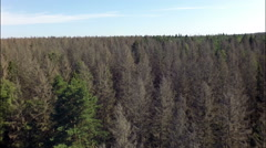 Flight over old,dry, dead forest, a lot of dry trees Stock Footage