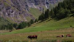 Alpine landscape with glacier and cows Stock Footage