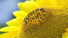 Macro. Sunflower lit by the sun. Stock Footage