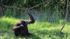 Red Ape rests on green grass - stock footage