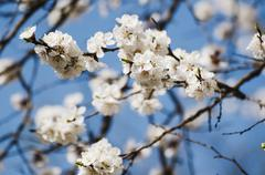 Apricot tree flower Stock Photos