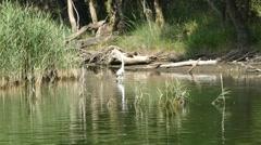 Stock Video Footage of Grey Heron (ardea cinerea)