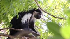 Angolan Colobus monkey - stock footage