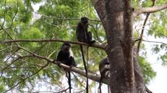 Monkeys in a tree Stock Footage