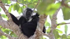Angolan Colobus monkey mother and baby Stock Footage