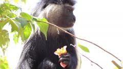 Angolan Colobus monkey eating flowers - stock footage