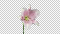 Time-lapse of opening and dying pink Longiflorum lily with ALPHA channel Stock Footage
