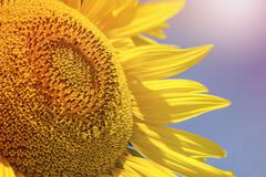 Close up of sunflower over blue sky - stock photo
