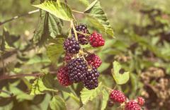 Stock Photo of Fresh blackberries in a garden
