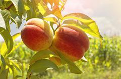 Stock Photo of Ripe peaches on tree