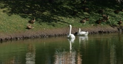 Swan Lake Speckled Ducks Walking by Green Meadow Couple of White Swans is Stock Footage