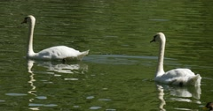 Swan Lake White Birds Swans And Speckled Ducks Birds are Floating by the Water Stock Footage