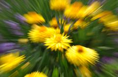 Abstract strawflower in the garden with motion blur Stock Photos