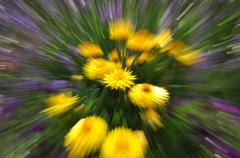 Abstract yellow strawflower with motion blur Stock Photos