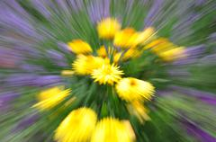Abstract strawflower with motion blur - stock photo
