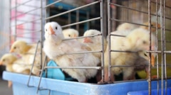 Small Chicken on Poultry Farm in Cage. Closeup Stock Footage