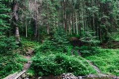pine forest in the Carpathians - stock photo