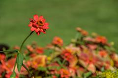 Single red flower Stock Photos
