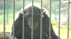 Gorilla behind the bars ,sunshine day 2 Stock Footage
