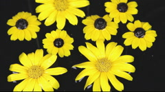 Yellow flowers in the water under the rain - stock footage