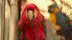 Scarlet and Blue Macaws in Cage Stock Footage