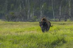 Bison grazing Russia Stock Photos