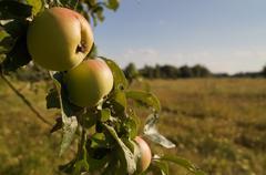 wild apples, branch - stock photo