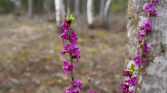 The purple flower of the Daphne mezereum - stock footage
