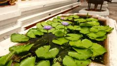 Tiny pond with light violet water lily, Nymphaea nouchali, close view Stock Footage