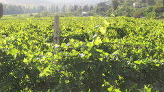 View of the vineyard Stock Footage
