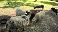 Mob of sheep eating hay Stock Footage