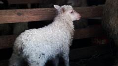 Baby lamb in pen Stock Footage