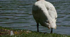 White Bird Swan Close Up is Standing at The Lake Turns and Walking by a Green Stock Footage