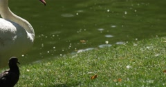 White Bird Swan Close Up is Walking by a Green Meadow with a Gray Pigeon Stock Footage