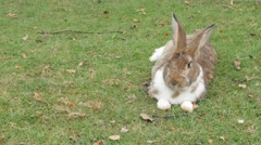 Rabbit in the field resting on grass 4K 3840X2160 UltraHD footage - Bunny lay Stock Footage