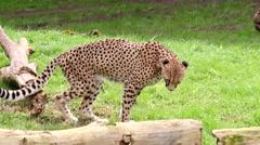 Cheetah walking in the park between tree trunks Stock Footage