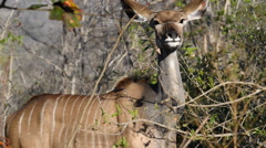 Kudu feeding Stock Footage