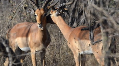 Impala helping each other Stock Footage