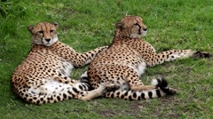 Cheetahs resting on the grass - stock footage