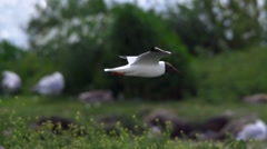 (common) black-headed gull in sweden Stock Footage