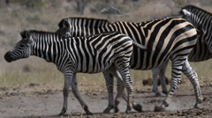 Zebra herd in africa Stock Footage