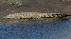 Nile crocodile sunbathing Stock Footage