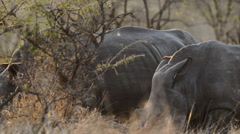 Rhino family feeding Stock Footage
