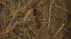 A Burchell's Coucal sitting on a branch and looking around Stock Footage