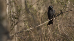 A Square-tailed Drongo sitting on a branch and looking around Stock Footage