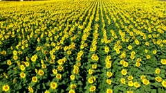 Field of Happy Yellow Sunflowers Thriving in Sunshine, Aerial View - stock footage