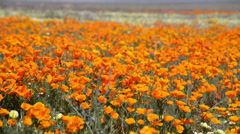 California Poppy at Full Bloom in Antelope Valley Poppy Reserve -Long Shot- Stock Footage