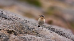Wheatear in norway Stock Footage